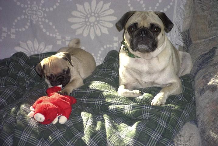 Pug Puppies Previously for Sale