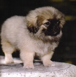 Sheba the Pekingese Puppy Previously for Sale