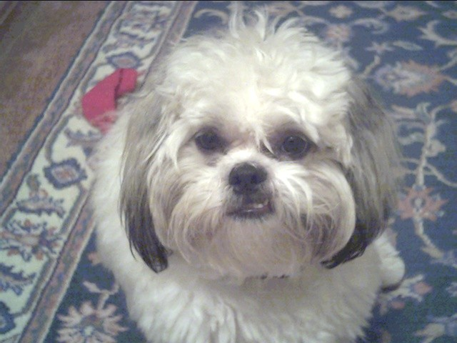 Teddy the Shih Tzu Puppy Previously for Sale