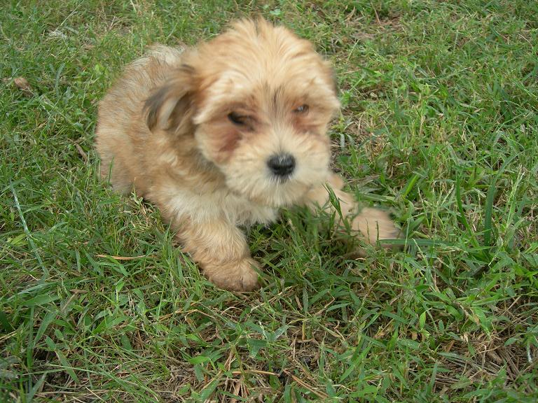 Bailey the Morkie Puppy Previously for Sale