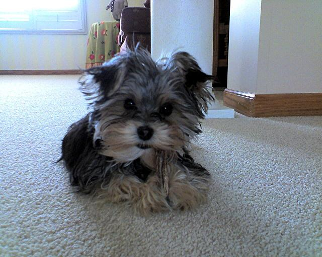 Baylee the Morkie (Yorktese) Puppy Previously For Sale