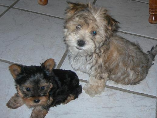 Buster and Ernie the Yorkie and Morkie Previously For Sale