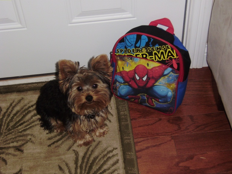 Cody the Yorkie Puppy Previously for Sale