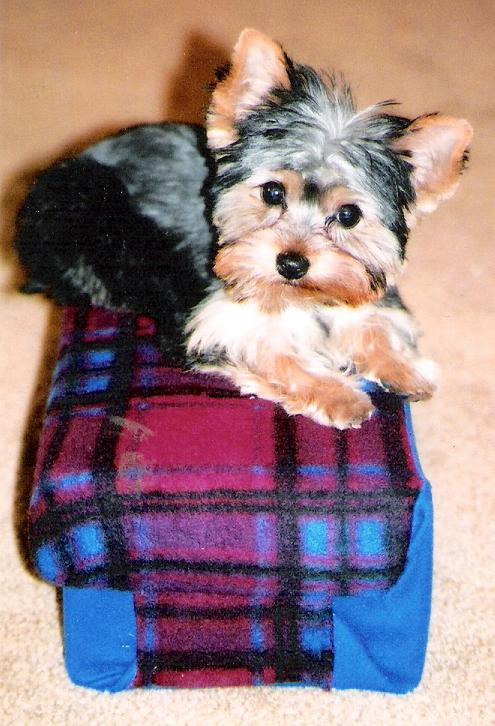 Jack the Yorkie Puppy Previously for Sale