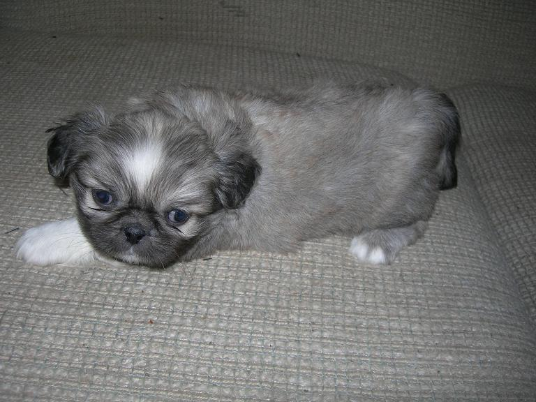 Pekingese Puppies For Sale Breed Traits And Characteristics