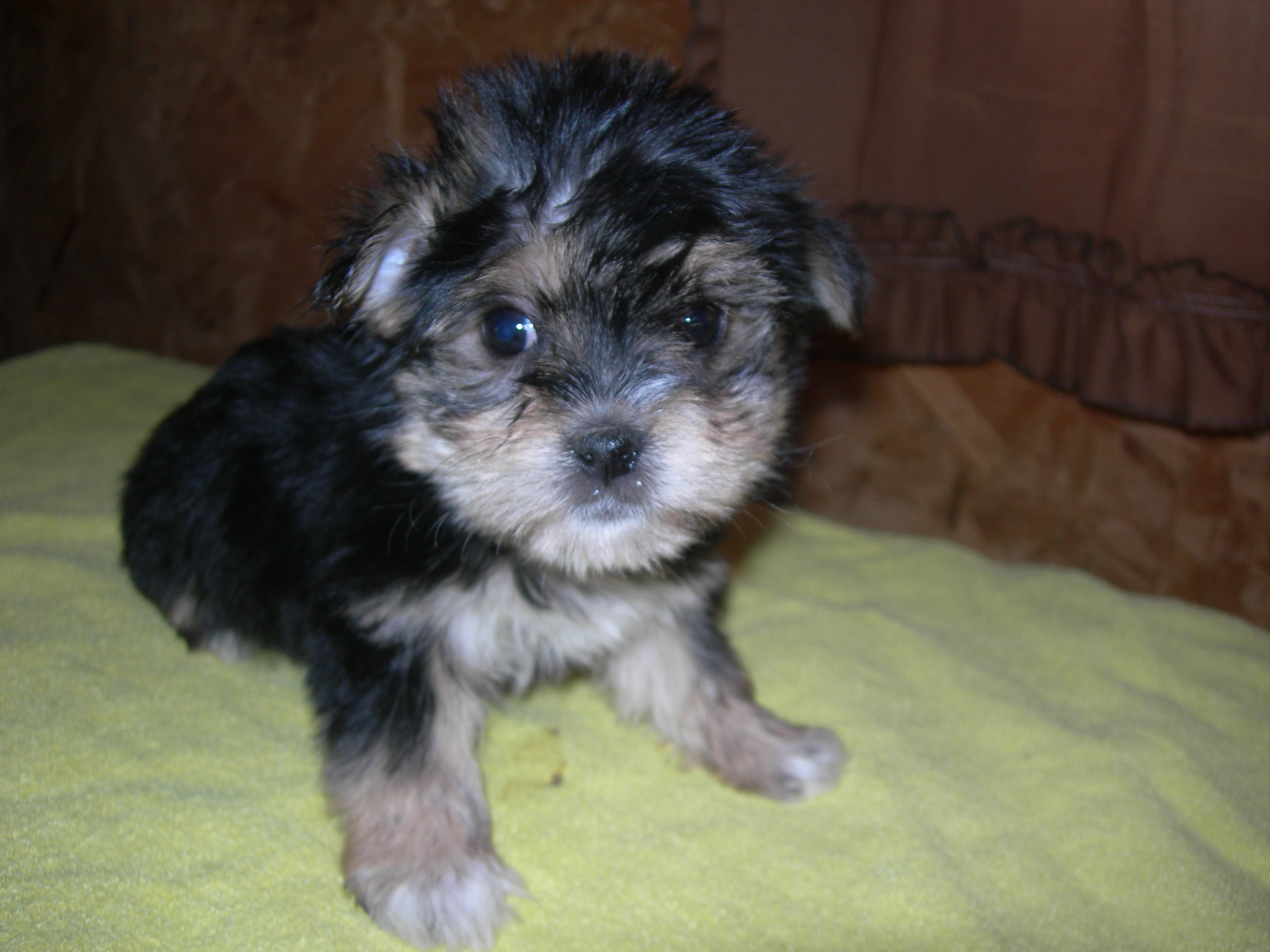 Micki the Morkie Puppy Previously for Sale
