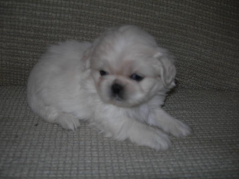 Picture of a Cream Pekingese Puppy Dog previously for sale