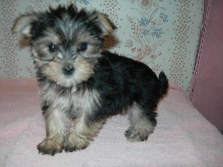 Full-Grown Morkie