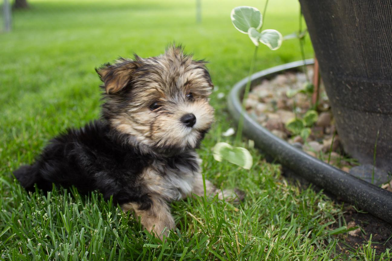 Myleigh the Morkie Puppy Previously for Sale