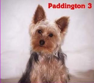 Paddington the Yorkie Puppy Previously for Sale