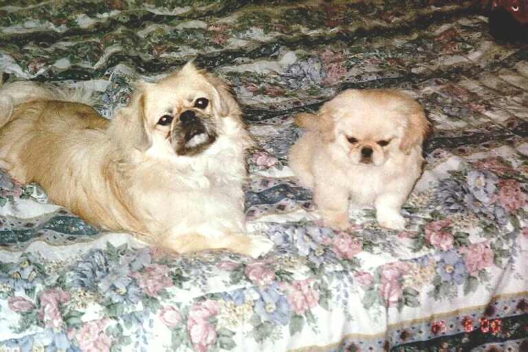 Pekingese Puppies Previously for Sale