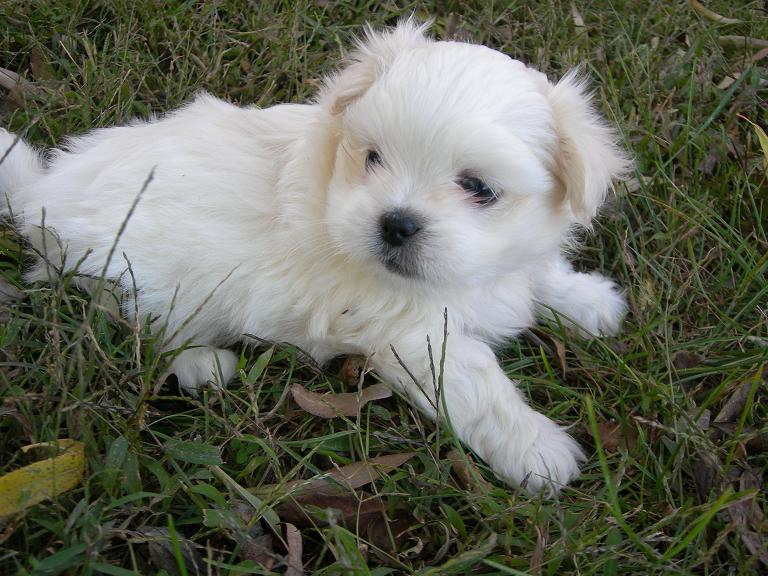 Pekeatese Puppy Previously For Sale