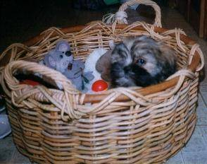 Princess the Lhasa Apso Puppy Previously for Sale