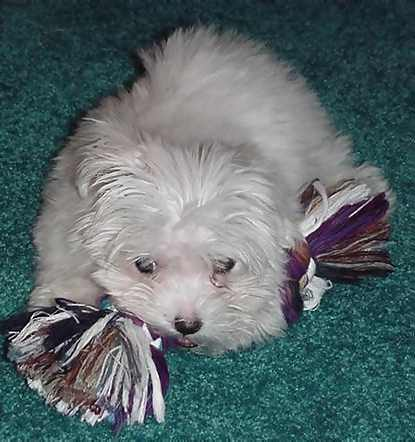 Picture of a White Maltese Puppy Dog previously for sale