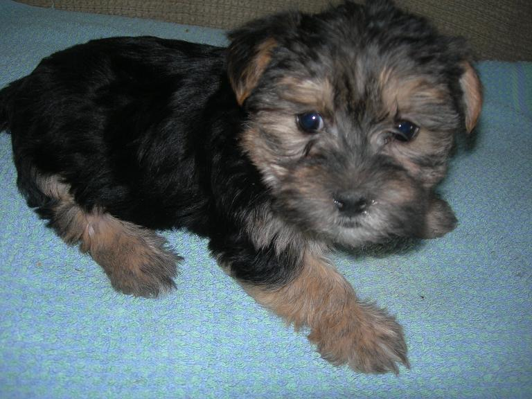 Rufio the Morkie Puppy Previously for sale