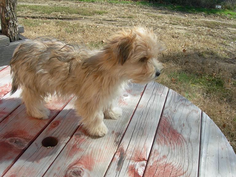 Picture of a Butterscotch (Blonde) Morkie Puppy previously for sale