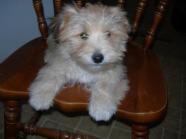 Scotty the Morkie Puppy Previously for Sale