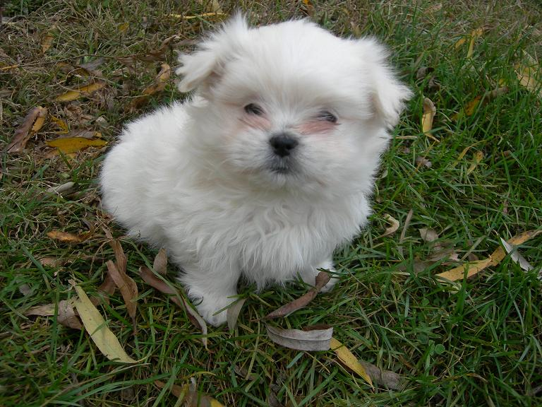 Porscha the Pekeatese Puppy Previously for Sale