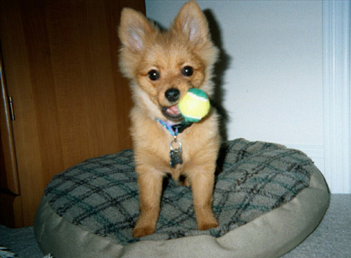 Thor the Pomeranian Puppy Previously for Sale