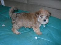 Chloe the Morkie Puppy Previously for Sale