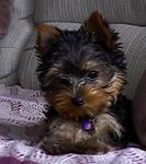 Picture of a Black and Tan Yorkshire Terrier (Yorkie) Puppy Dog previously for sale