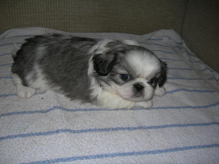Picture of a White and Sable Pekingese Puppy Dog previously for sale