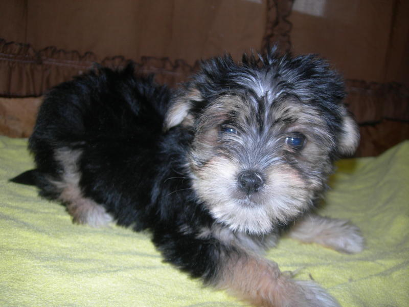Picture of a tri-colored Morkie Puppy previously for sale