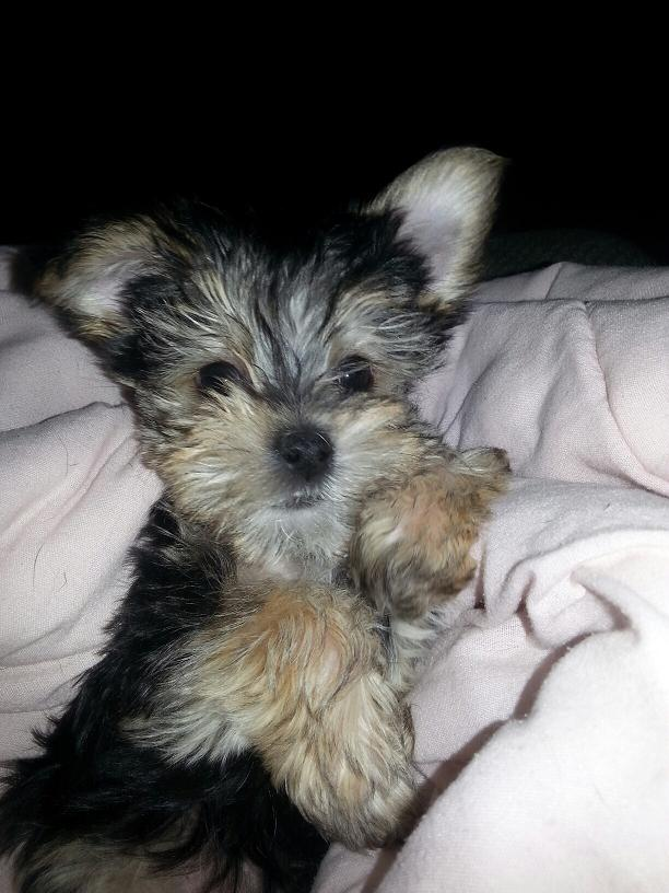 Tucker the Morkie puppy Previously for sale